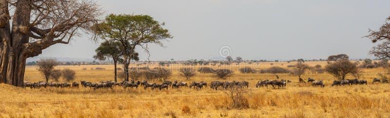 Panorama of wildebeast herd grazing royalty free stock photo