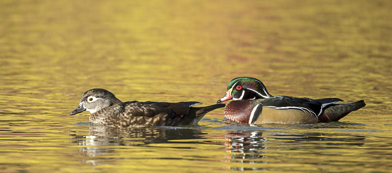 Panorama of wood duck pair in water. Panorama of wood duck couple in water at Cannon Hill Park in Spokane, Washington royalty free stock photo