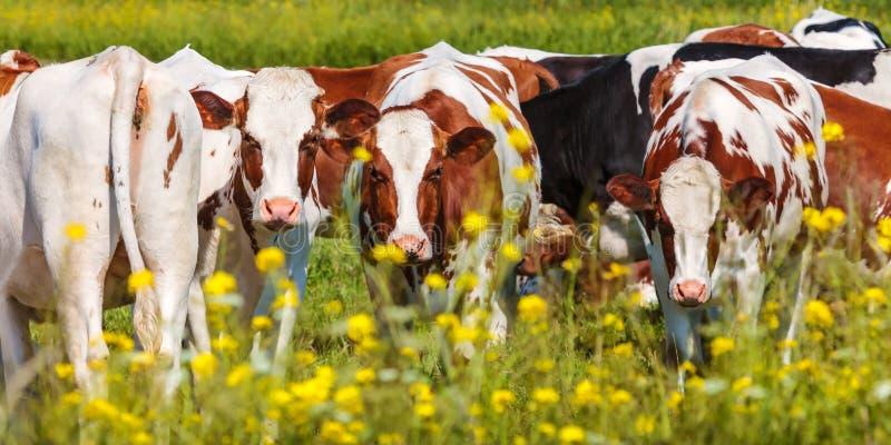 Panoramabild von niederländischen Milchkühen im Sommer lizenzfreie stockfotografie