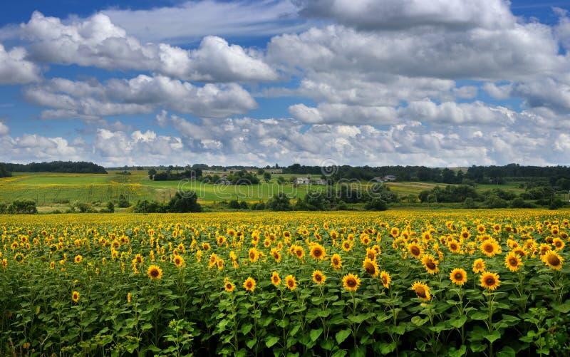 Panoramablick auf Sonnenblumenfeld mit cloudly Himmel lizenzfreies stockbild