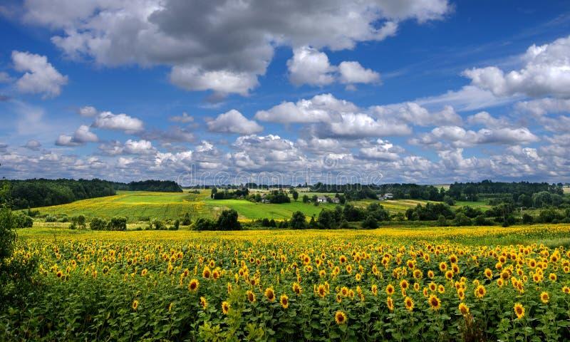 Panoramablick auf Sonnenblumenfeld mit cloudly Himmel lizenzfreies stockfoto