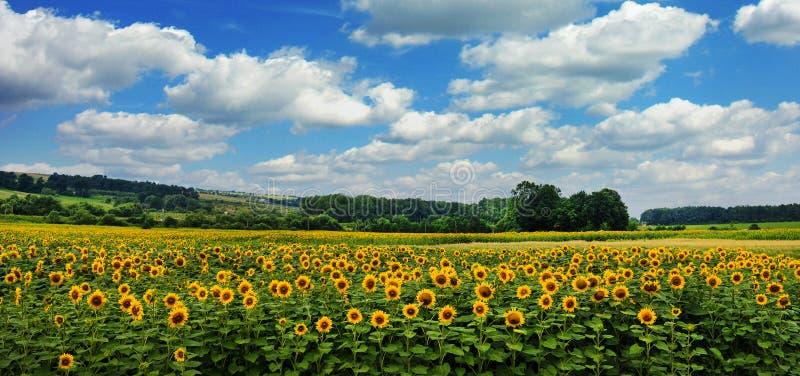 Panoramablick auf Sonnenblumenfeld mit cloudly Himmel lizenzfreie stockfotos