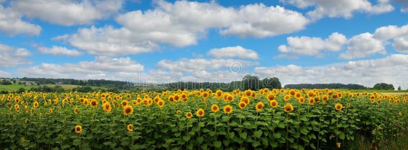 Panoramablick auf Sonnenblumenfeld mit cloudly Himmel stockfoto