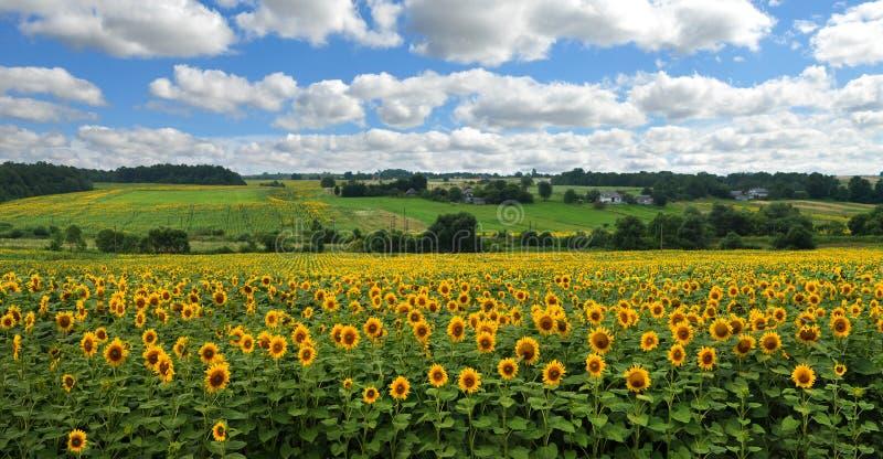 Panoramablick auf Sonnenblumenfeld mit cloudly Himmel lizenzfreie stockfotografie