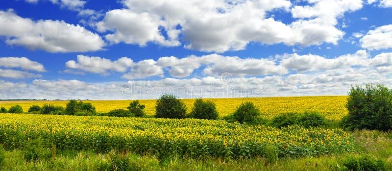 Panoramablick auf Sonnenblumenfeld mit cloudly Himmel stockfotos