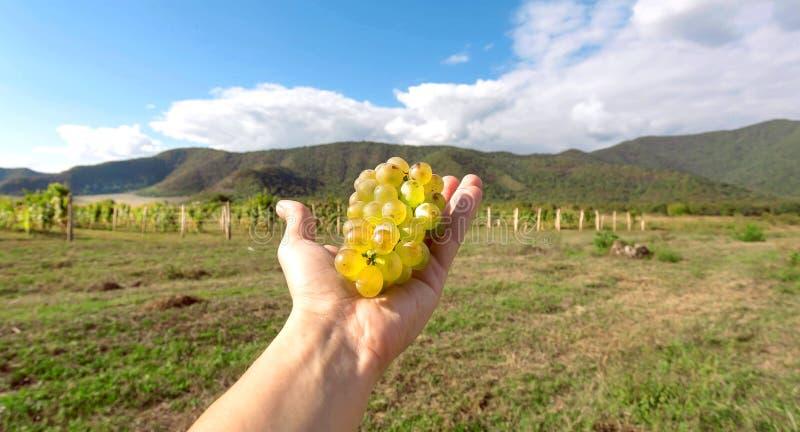 Panoramablick auf Weinberg und Bündel saftige Trauben in der Landwirthand Erntezeitkonzept und -Naturlandschaft stockbilder