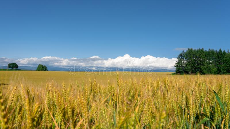 Panoramablick des goldenen Reisfeldes in Biei lizenzfreies stockbild