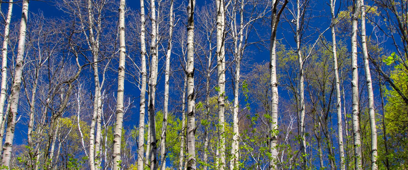 Panoramablick des Pappel-Waldes im Frühjahr stockbild
