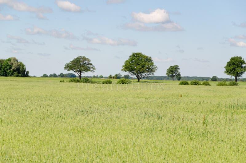 Panoramablick des Roggenfeldes und -baums im Horizont stockfotos