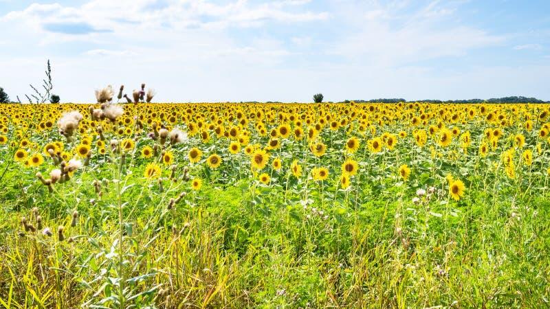 Panoramablick des Sonnenblumenfeldnachmittages stockbild