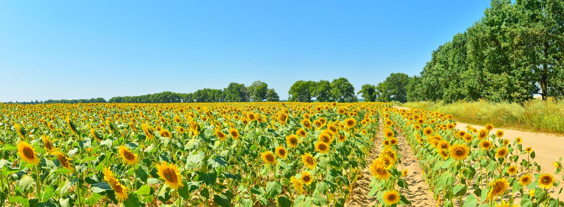 Panoramablick des Sonnenblumenfelds im Hochsommer lizenzfreie stockfotos