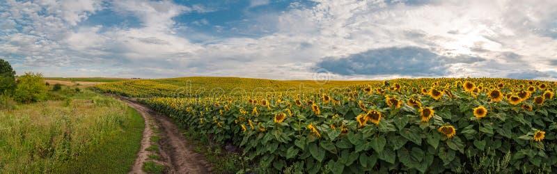 Panoramablick mit einem Feld von Sonnenblumen mit Schotterweg stockfotografie