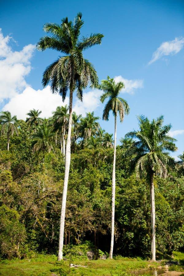 Panoramablick von Königpalmebäumen auf kubanischer Landschaft stockfotografie