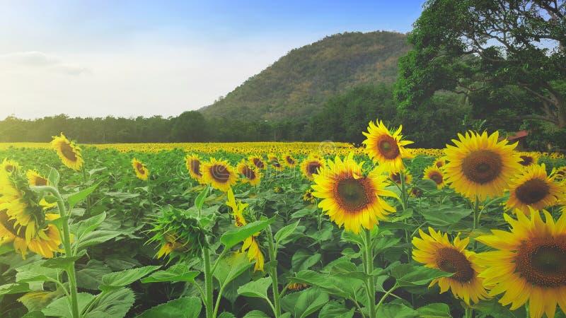 Panoramablickfeld von Sonnenblumen des blauen Himmels stockfotografie