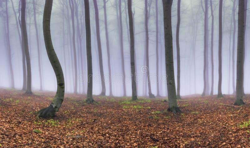 Panoramabokträdskog arkivfoto