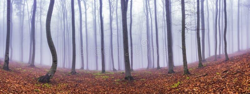 Panoramabokträdskog arkivfoton