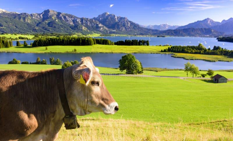 Panoramalandschap in Beieren met koe in weide royalty-vrije stock afbeelding