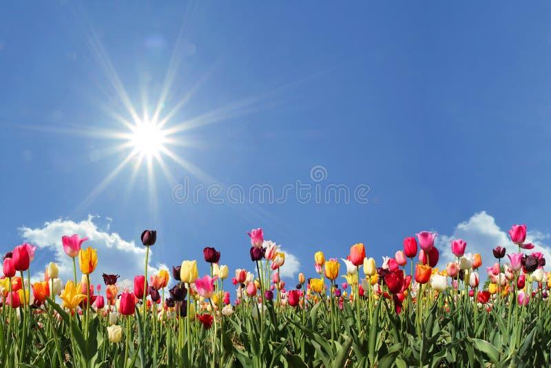 Panoramatulpanfält, blå himmel med solsken arkivbilder