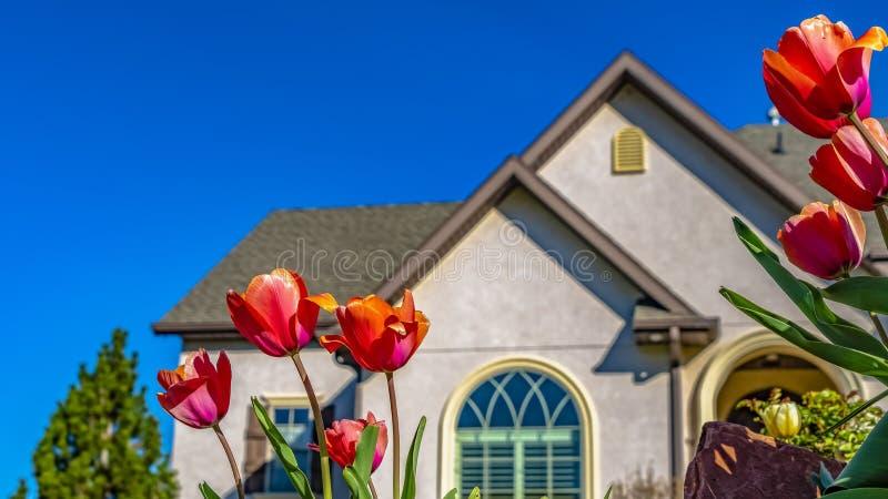 Panoramatulpen die bij de tuin van een huis onder duidelijke blauwe hemel op een zonnige dag bloeien stock fotografie