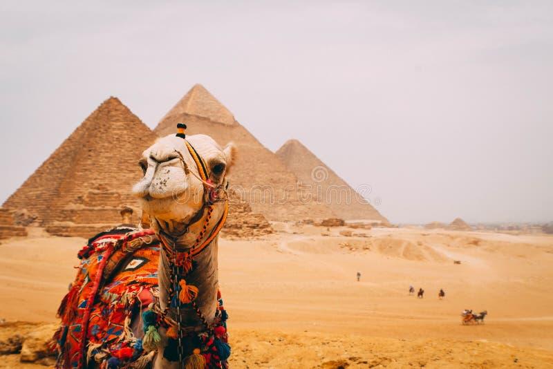 Panoramautsikt av de sex stora pyramiderna av Egypten med en kamel framme Pyramid av Khafre, pyramid av Khufu och den röda pyrami arkivbild