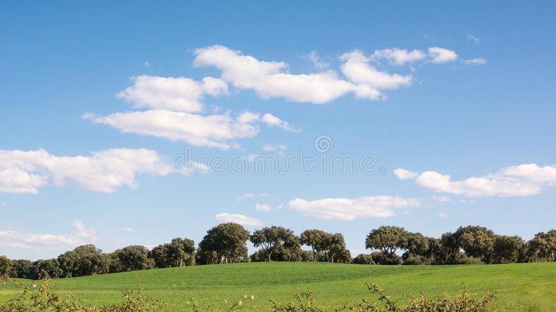 Panoramautsikt av en ekdunge p? ett f?lt f?r gr?nt gr?s, under en bl? himmel fotografering för bildbyråer