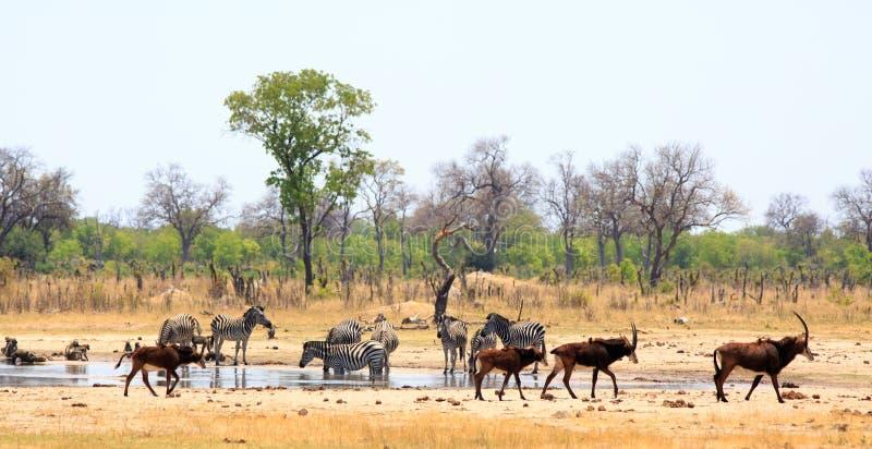 Panoramautsikt av en vibrerande waterhole med sebra- och sobelantilop - Hwange nationalpark arkivfoto