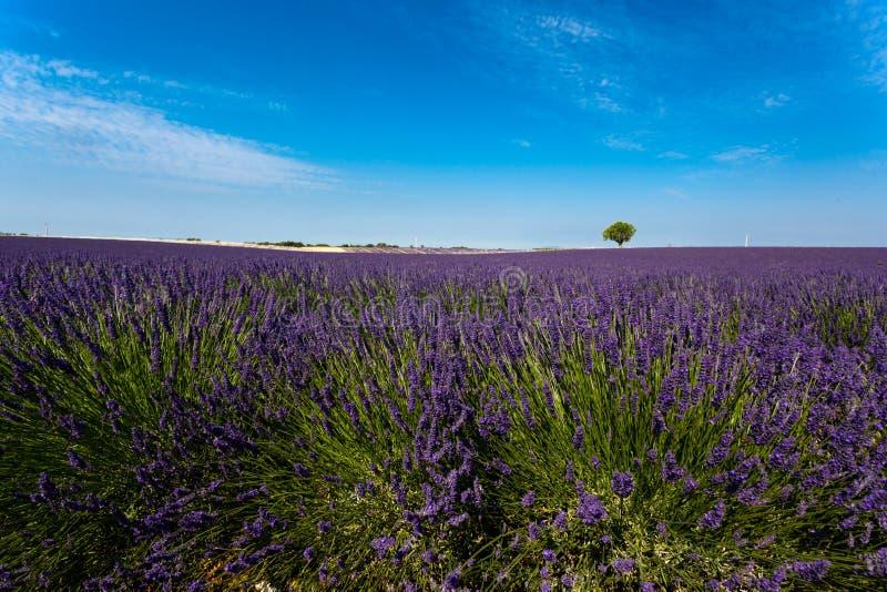 Panoramautsikt av lavendelfält royaltyfri bild