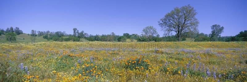 Panoramautsikt av vårblommor av rutt 58 på Shell Creek Road som är västra av Bakersfield, Kalifornien royaltyfri fotografi