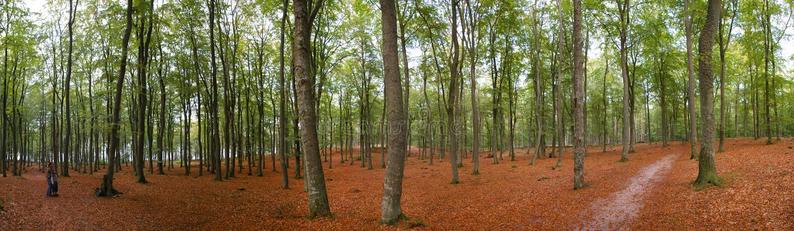 Panoramic autumn forest. Panoramic view of forest in autumn scene royalty free stock photos