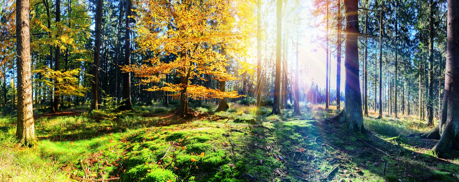 Panoramic autumn landscape in sunny forest. Fall nature background. At sunrise royalty free stock photo