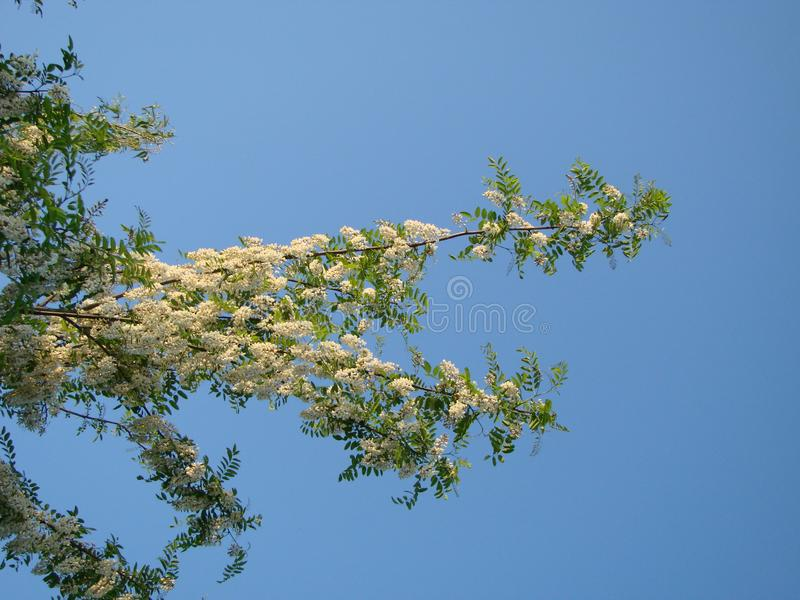 Panoramic banner background of wattle Acacia against blue sky.  stock image