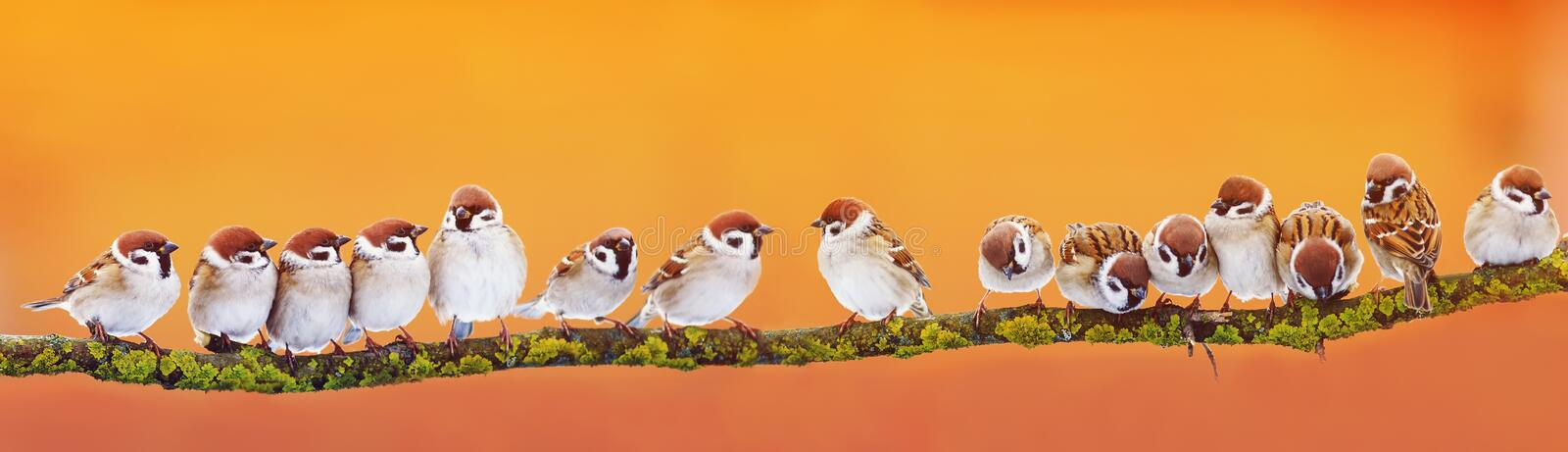 Panoramic banner of a lot of funny little birds sparrows on a br. Anch in the garden l on a Sunny day stock photos