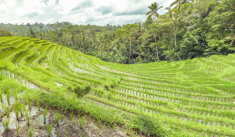 Panoramic beautiful view of green rice terraces. agronomic indonesian natural background. Rice fields and tropical plants royalty free stock photos