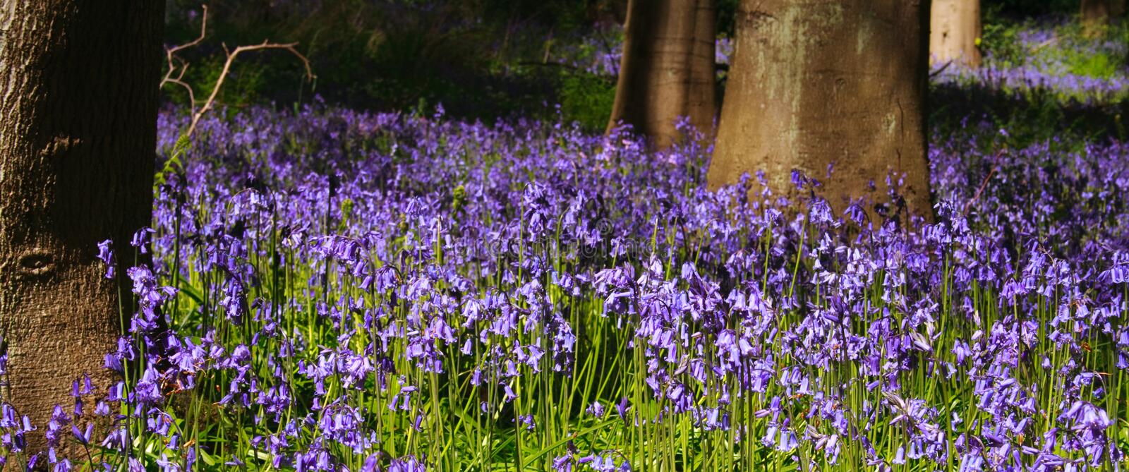 Panoramic Bluebell wood with trees close-up royalty free stock image