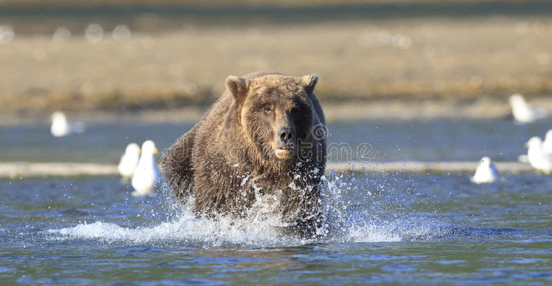Panoramic of brown bear running in river royalty free stock images