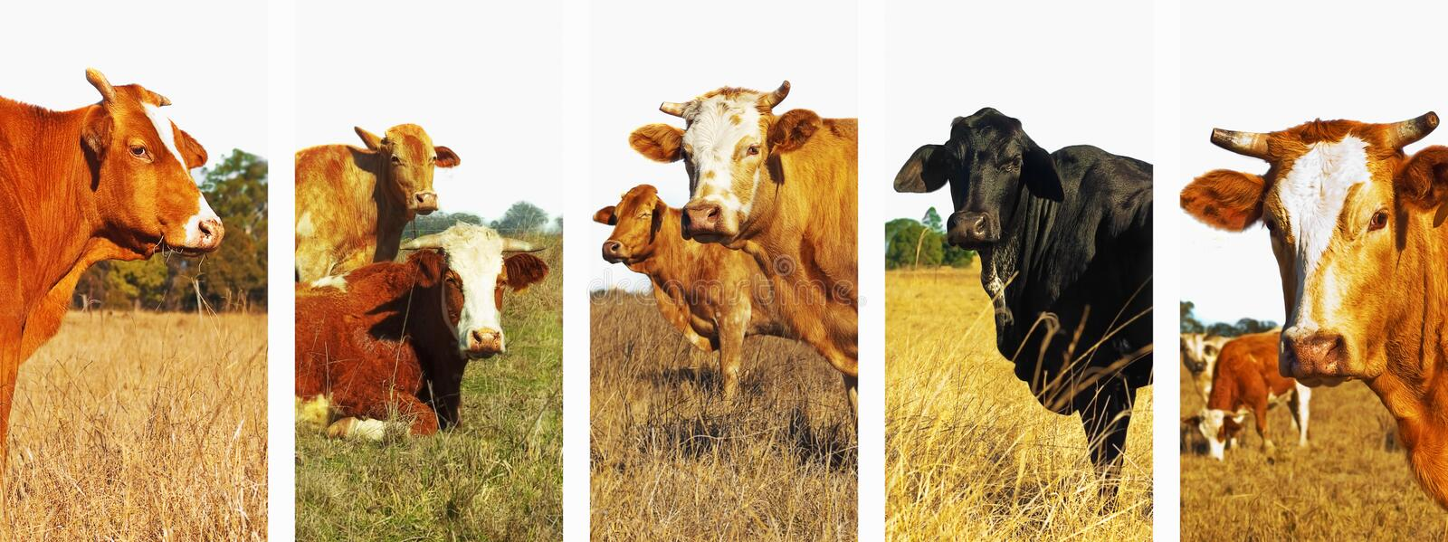 Panoramic cow set banner royalty free stock photography