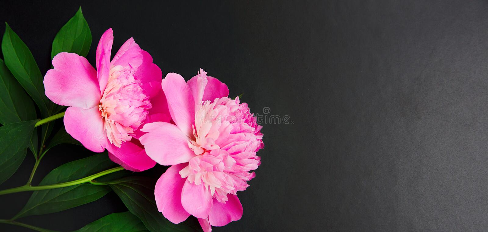 Panoramic Floral background with pink peony flowers. Panoramic Floral background with copy space. Floral frame of pink peonies flowers on black background royalty free stock images