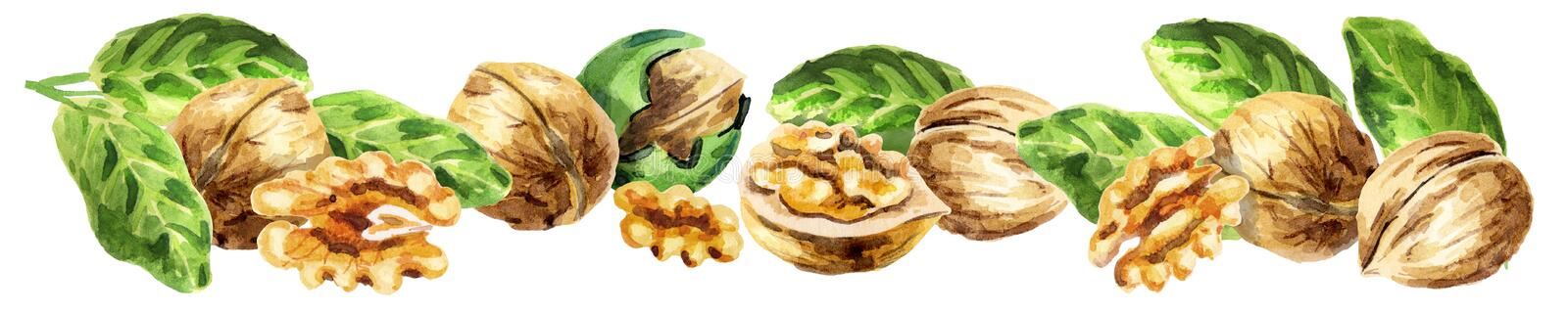 Panoramic image of walnut. Watercolor. Panoramic image of walnut. Can be used for kitchen skinali. Watercolor stock illustration