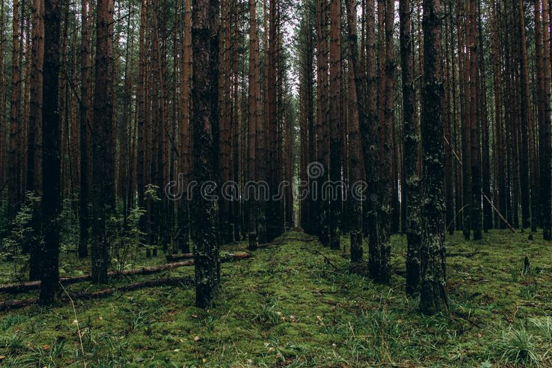 Panoramic landscape of dark forest with straight tree trunks and green grass, which gives an gloomy feeling. A thick, ominous royalty free stock photography