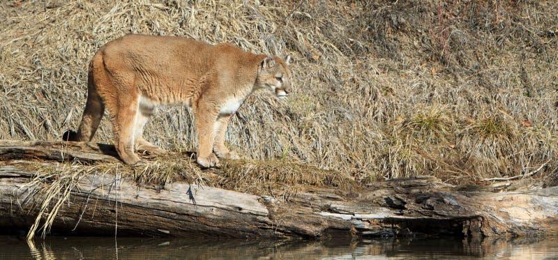 Panoramic of mountain lion on log stock photos