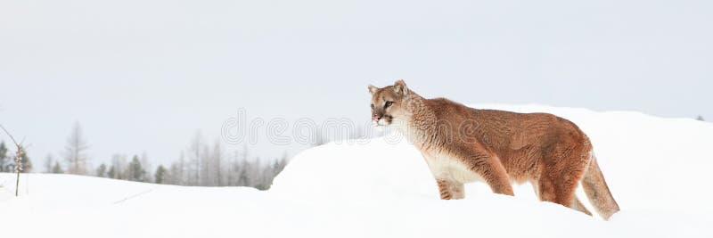 Panoramic mountain lion stock photos