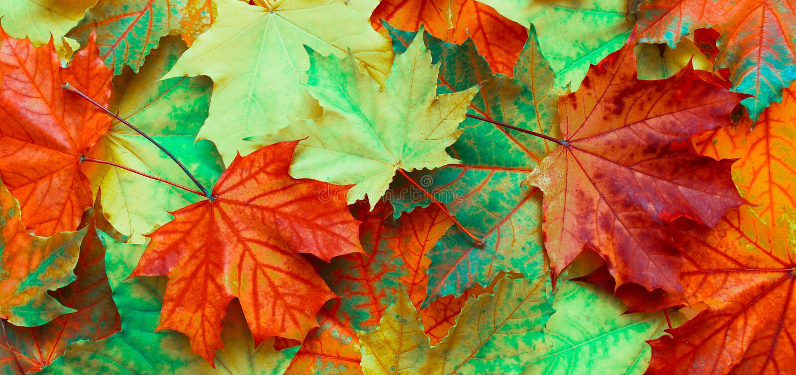 Panoramic Nature autumn Background with fallen maple leaves royalty free stock images