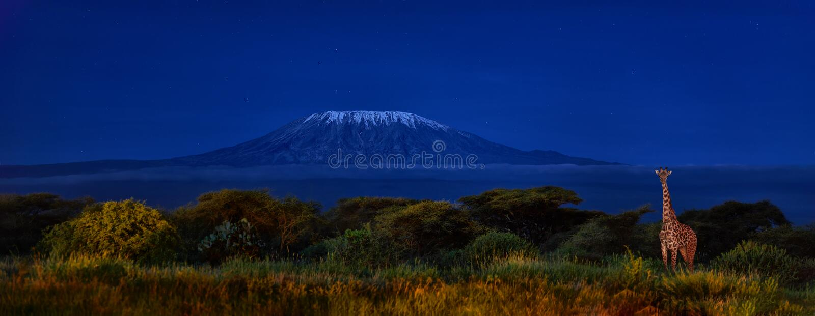 Panoramic, night picture of Mount Kilimanjaro with Masai giraffe in front, snow capped highest african mountain, lit by full moon. Against deep blue night sky stock photo
