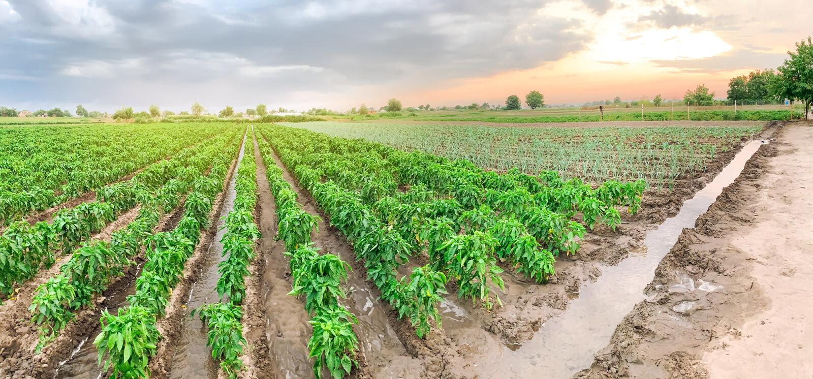 Panoramic photo of agriculture. Irrigation of pepper and leek plantations in the field. Traditional natural watering. Eco-friendly stock photos