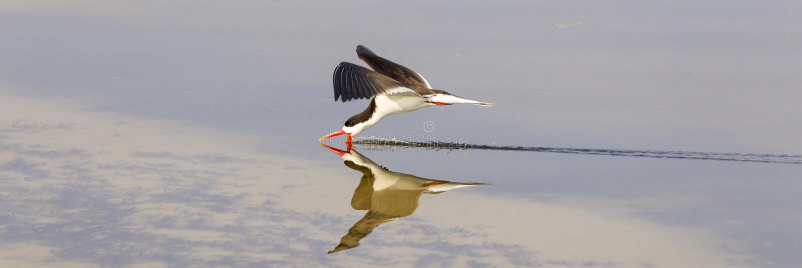 Panoramic Photograph of Caspian Tern. Caspian tern in Panoramic Photograph royalty free stock photo