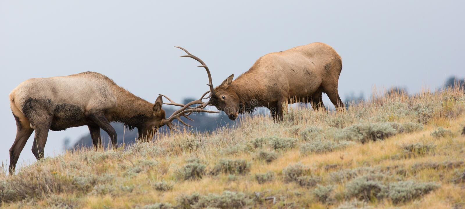 Panoramic photograph of two bull elk fighting. On top of mountain stock photo