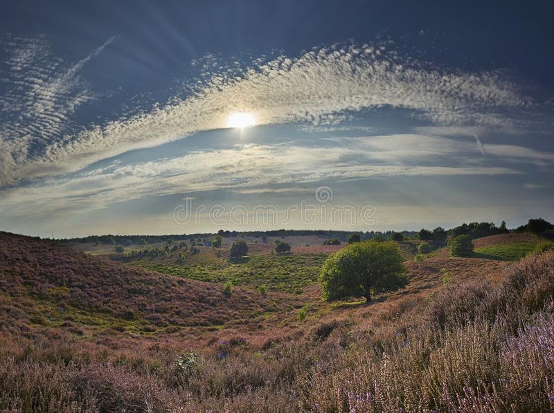 Panoramic picture of blossoming purple heath with green grass and trees on bright summer day royalty free stock image