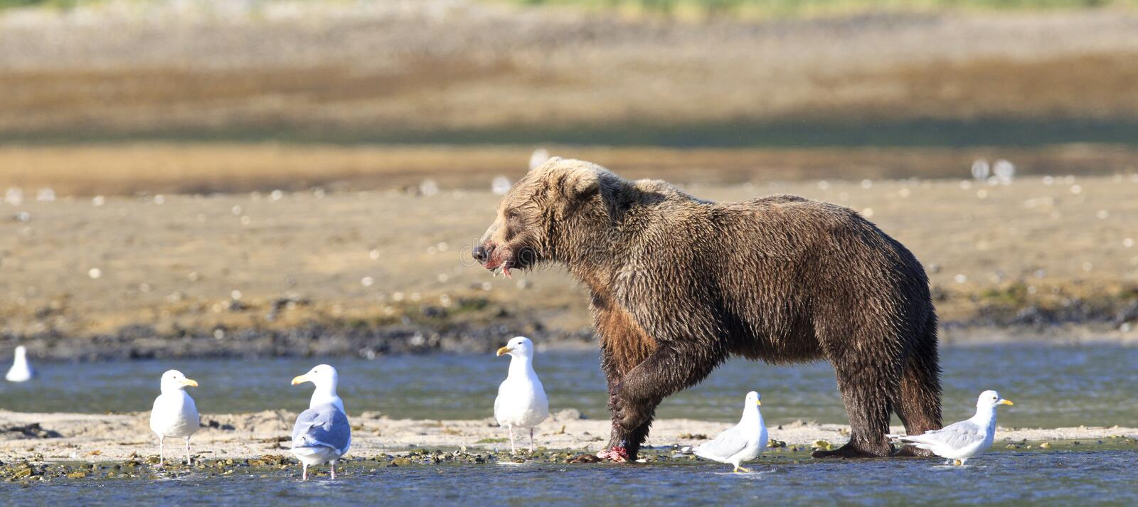 Panoramic Picture of brown bear stock images