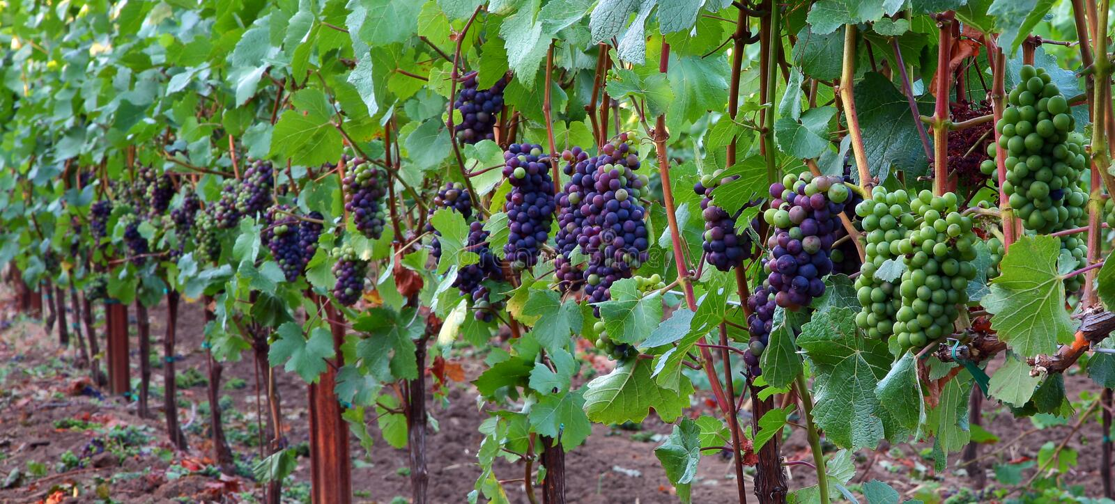Panoramic of Pinot Noir Grapes. Panoramic view of Pinot Noir grapes during veraison in the Willamette Valley of Oregon royalty free stock images