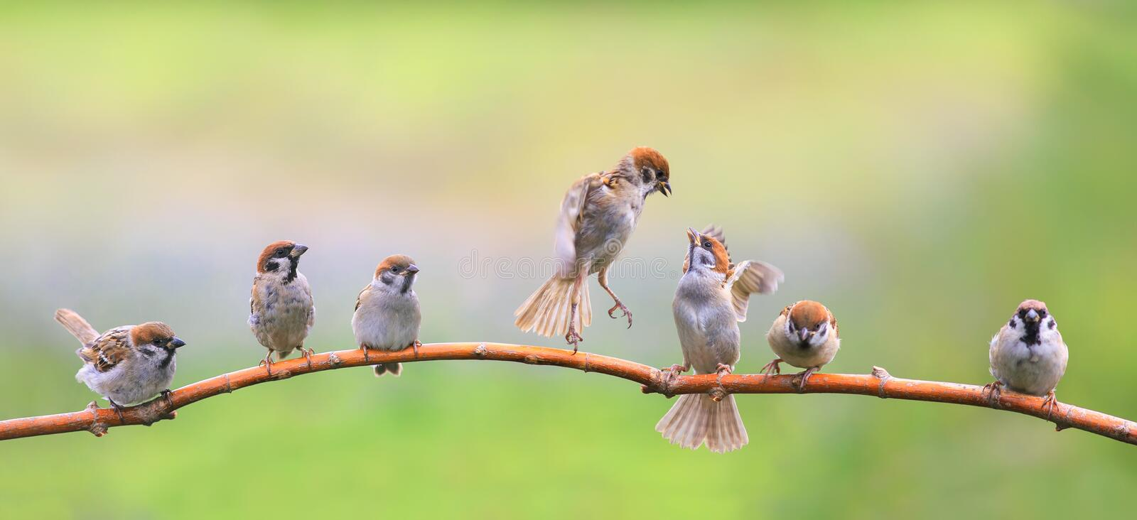 Panoramic portrait of small funny birds sparrows restlessly sitting on a tree branch in a Sunny green garden. Panoramic of small funny birds sparrows restlessly royalty free stock photos